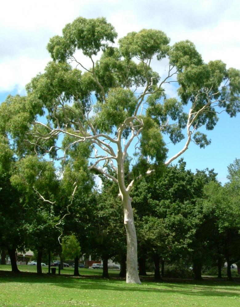 eukalyptus-citronovonny
