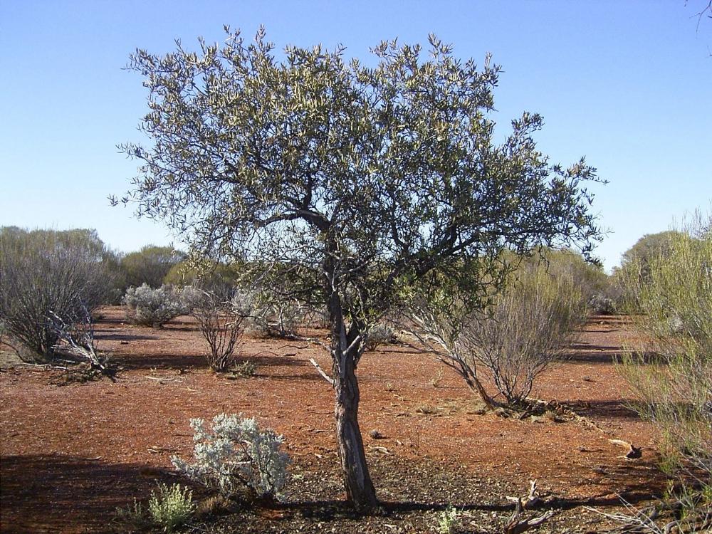 santalovy-strom